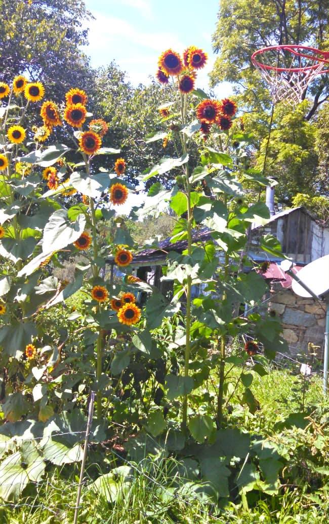 Sunflowers; Hickory Nut Gap Farm