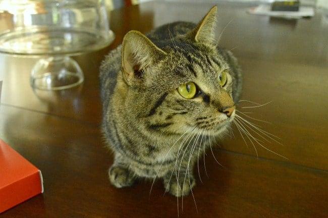Gidget the Cat