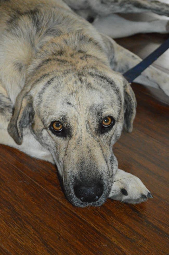 Sampson is adoptable through Carolina Big Hearts and Big Barks